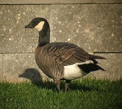 Minima Cackling Goose