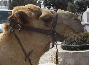pet-camel